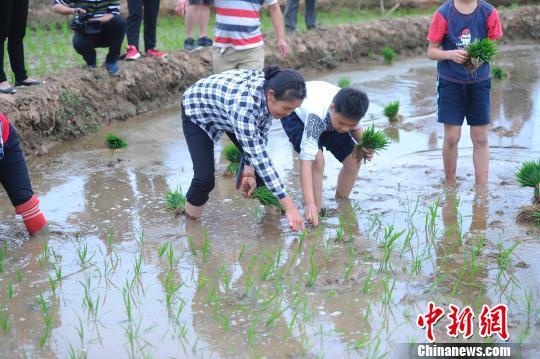 一名学生在农民手把手的教导下学插秧。 蒋雪林 摄
