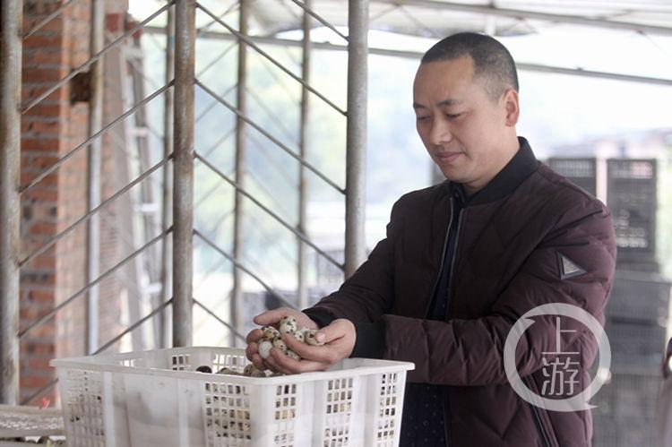 网络媒体走转改丨放弃温州皮鞋厂 涪陵小伙返乡养鹌鹑