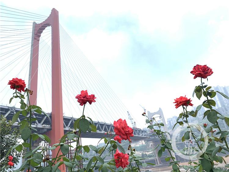 """红岩村嘉陵江大桥""""红""""起来了 还差""""一丁(4986618)-20200802164136.jpg"""