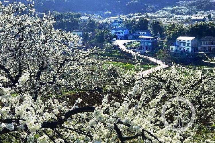 在灿烂的阳光下,重庆市合川区双凤镇的两万亩的李花竞相盛放,犹如冬天