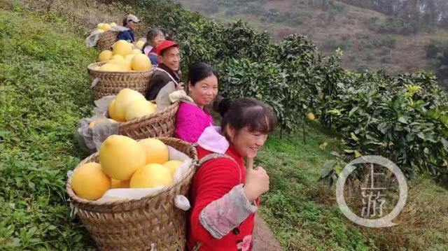 一个重庆柚子在新加坡卖出250元