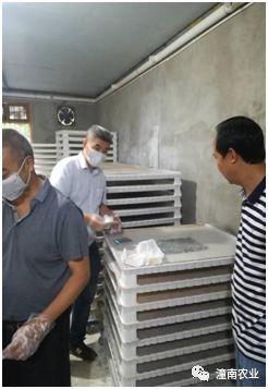 重庆市蚕科院在潼南试验人工饲料养小蚕