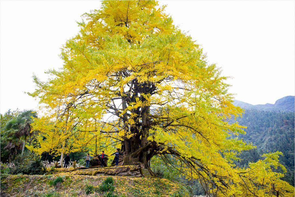 这个秋天,秀山杨柳山的银杏已经美出天际~