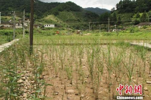 资料图:江西寻乌县三标乡建设的湿地生态修复工程。 苏路程 摄