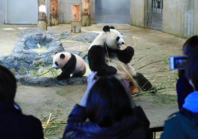 旅日大熊猫 香香 人气太高不得不 加班接客 这股 熊猫热 到底有多轰动图片 39516 639x449