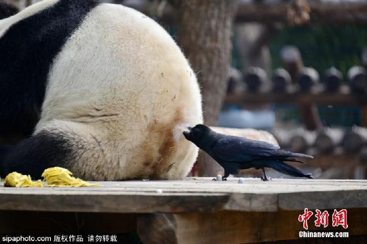 乌鸦拔大熊猫毛发搭窝!确认过眼神,不敢惹...