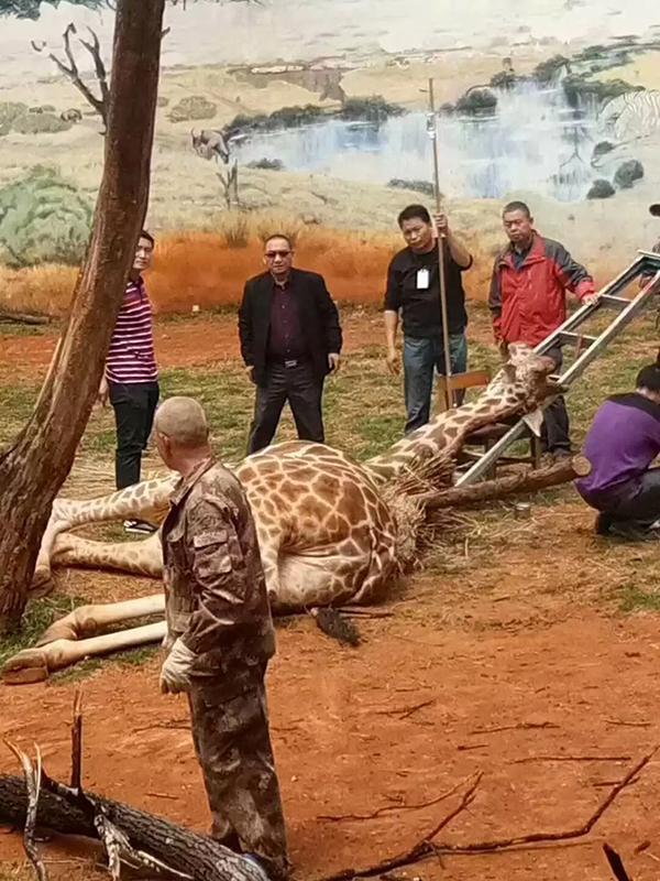 心疼!昆明动物园长颈鹿蹭痒卡树杈 脑供血不足死亡