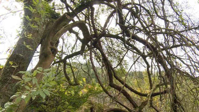 丰都南天湖发现罕见黄荆树 树龄超300年!