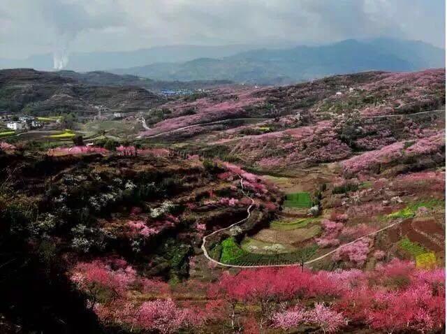 桃花油菜花玫瑰花齐开 开州邀你来赏花!