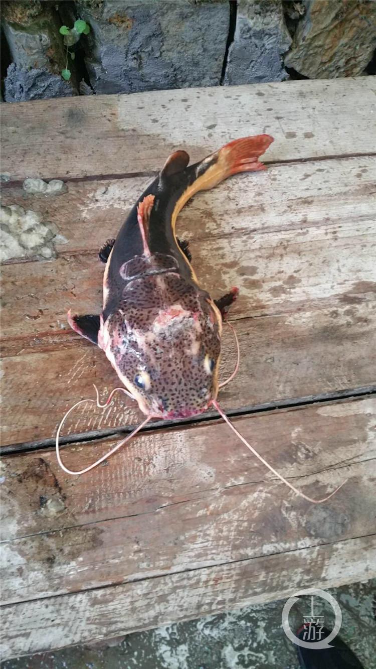 看似呆萌实则凶猛,有人在南川放生外来物种红尾鲶