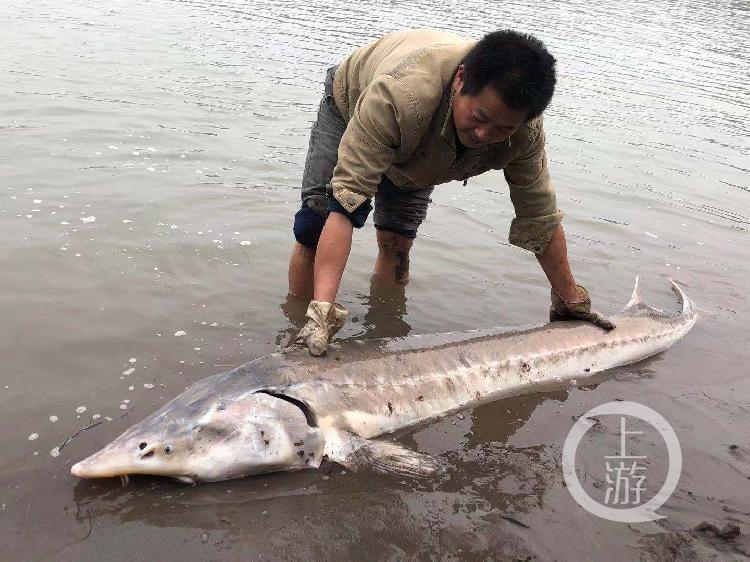 百余斤长江鲟惊现重庆江边 长度超两米
