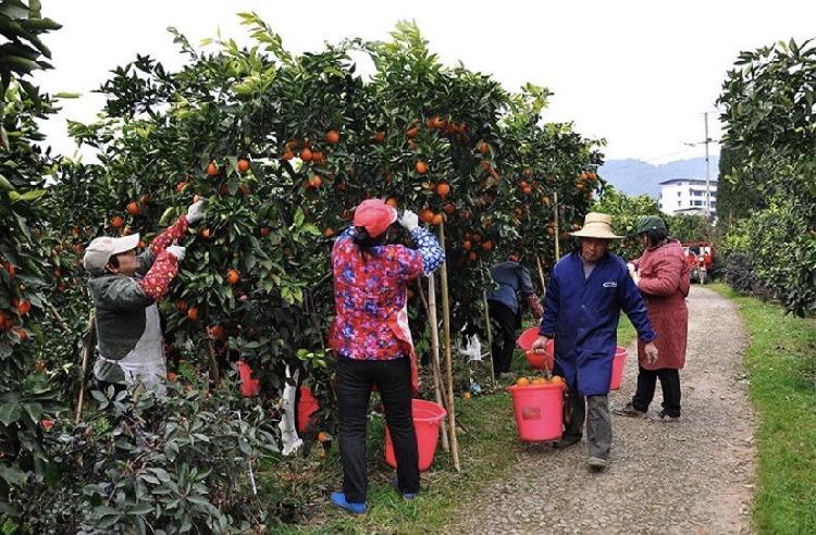 图配万州玫瑰香橙,二(4220026)-20200224161315.jpg