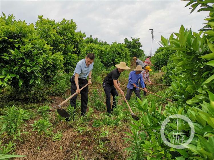 傅坝村村民在柑橘园务工(4826007)-20200630201016_副本.jpg