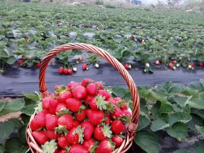 重庆自由行:周末啦!和家人朋友自驾去巴南摘草莓、登圣灯山