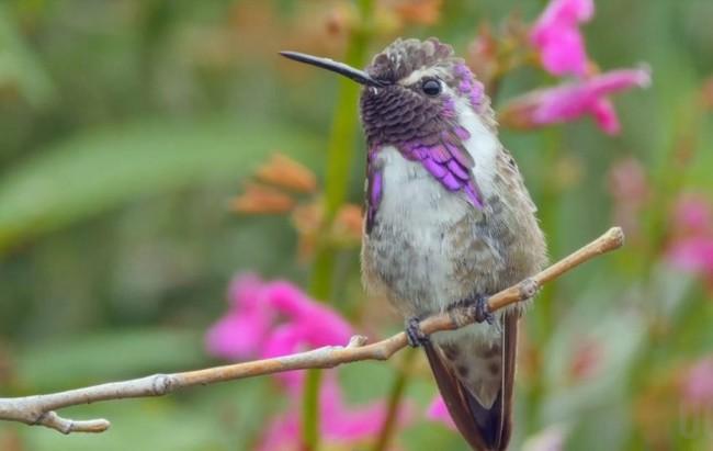 为了吸引异性,科氏蜂鸟用尾巴作曲