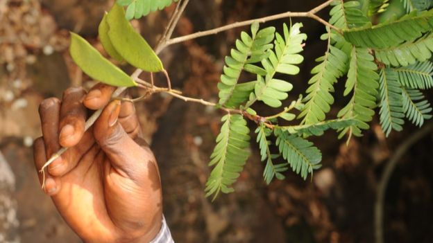 非洲雨林新物种树