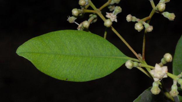 野生香料树