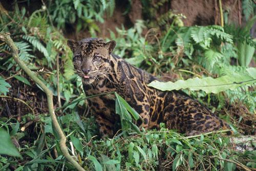 世界自然基金会发现猫科新物种婆罗洲云豹
