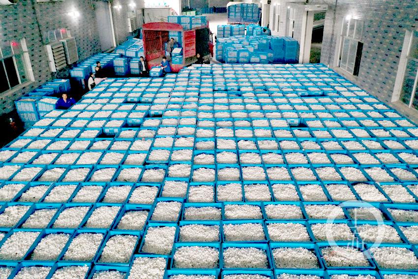 2021年10月12日,重庆市黔江区双河丝绸公司工人将从农户手中收购来的晚秋蚕茧入库。   (1).jpg